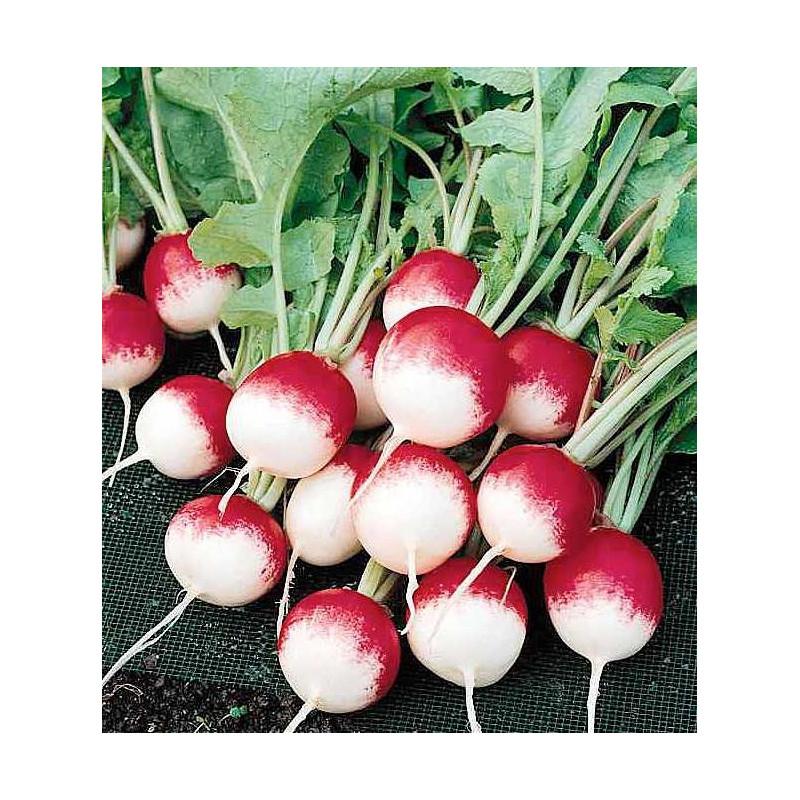 planter des graines de radis vente de radis blancs pas cher. Black Bedroom Furniture Sets. Home Design Ideas