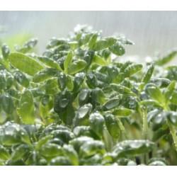 Cresson Alénois - Graines à germer bio