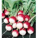 Graine Radis national, rond rose à bout blanc