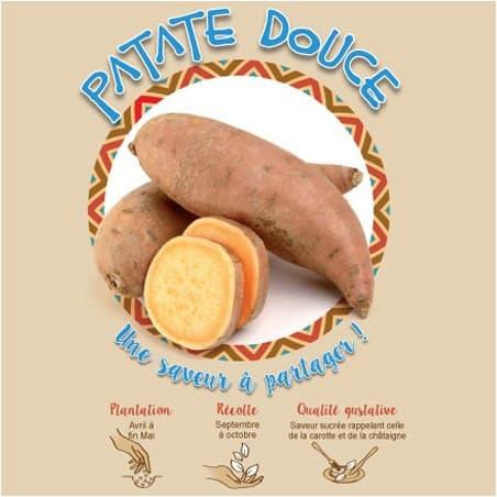 Patate douce 1 Plant à planter