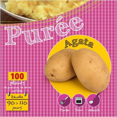 Agata 100 Plants de pomme de terre