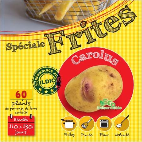Carolus 60 Plants de pomme de terre