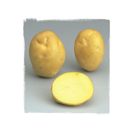 1,5 kg de Plants de pomme de terre Résy