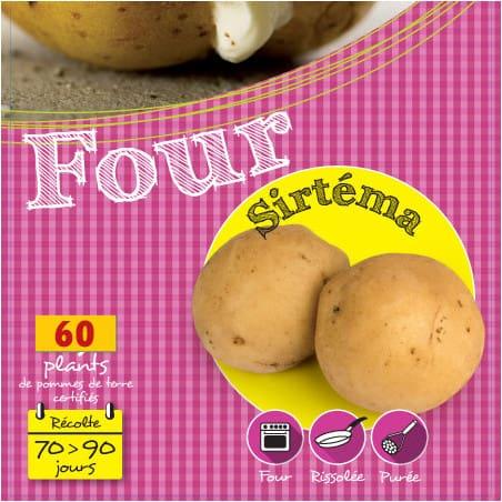 Sirtéma 60 Plants de pomme de terre
