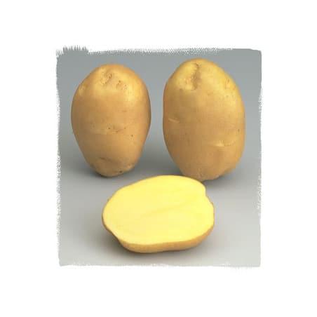 Ostara 100 Plants de pomme de terre