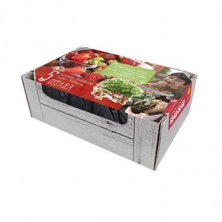 5 plants de fraisiers Ostara caisse