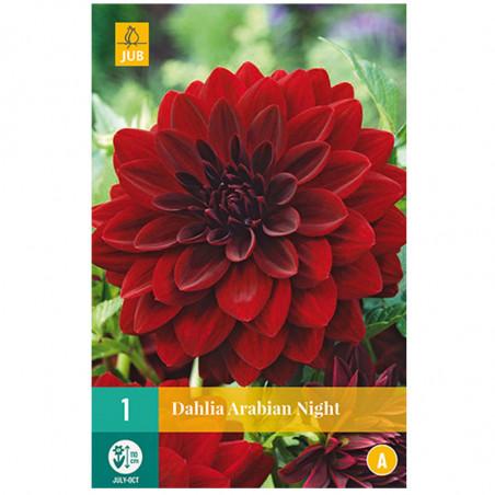 1 DAHLIA ARABIAN NIGHT