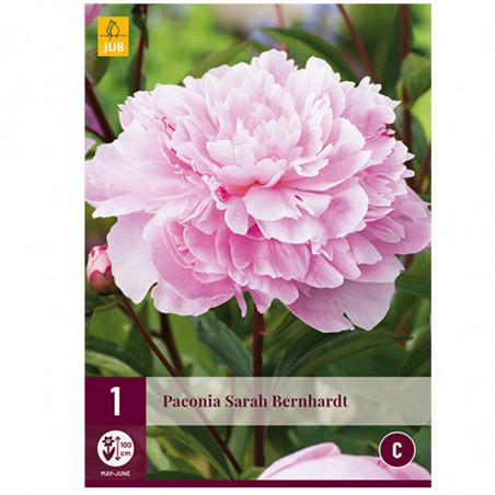 1 PIVOINE SARAH BERNHARDT