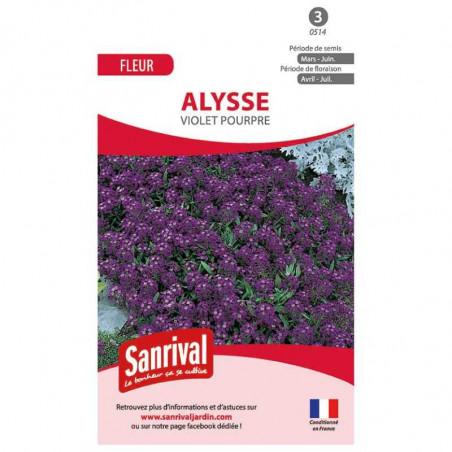 Graines Alysse Violet Pourpre