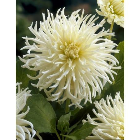 Dahlia cactus White star